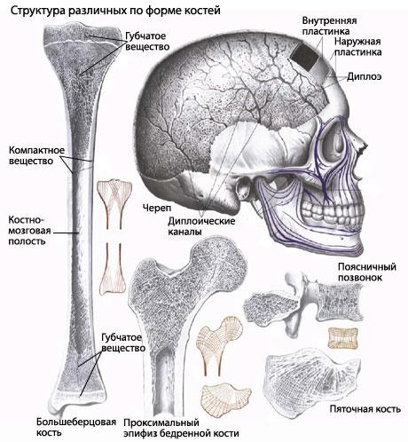 костях и в тех частях их,