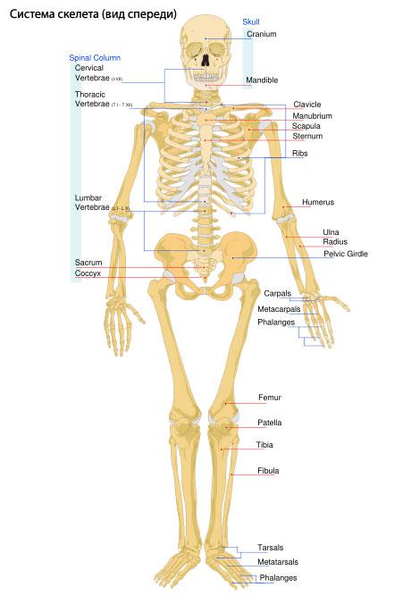 скелета в обмене веществ,