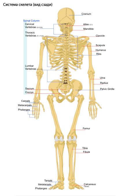 Развитие скелета.