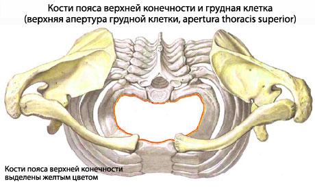 Лопатка - плоская кость
