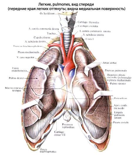 Легкие человека Анатомия Легких строение функции картинки на  На медиальной поверхности