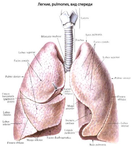 Каждое легкое, pulmo, имеет