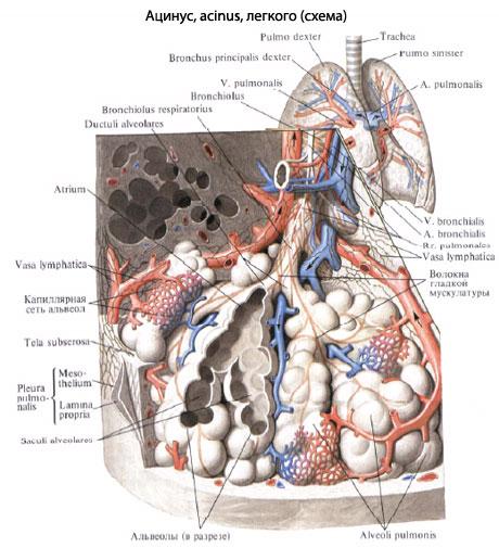 Число ацинусов в обоих легких