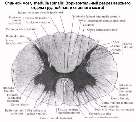 заложено внутри спинного
