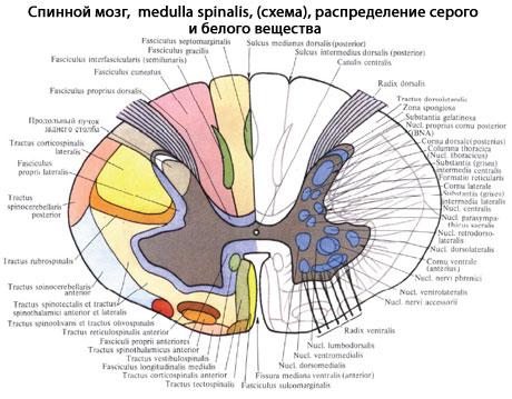 мозг человека | Анатомия..