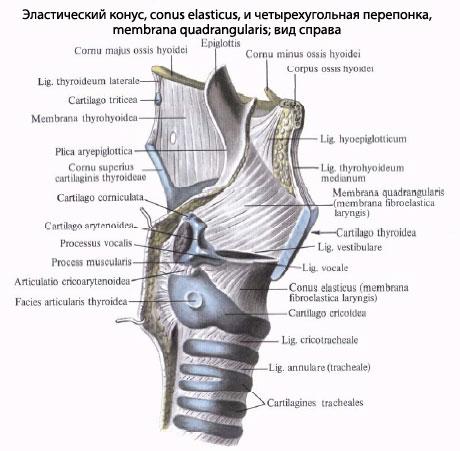 Анатомия Голосового аппарата