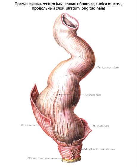 Покажите в разрезе человека как выглядит член в анусе