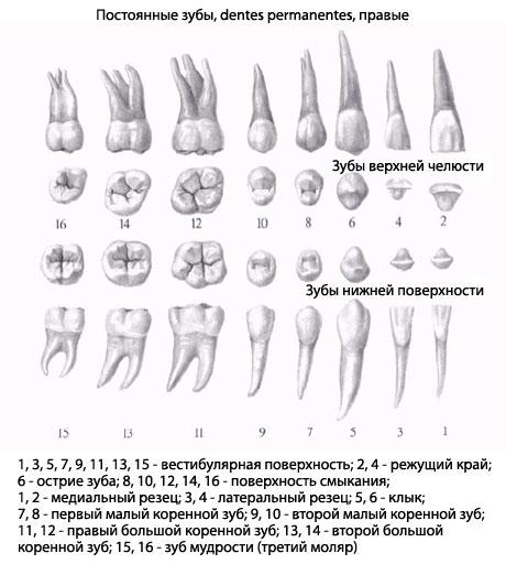 Нижние малые коренные зубы