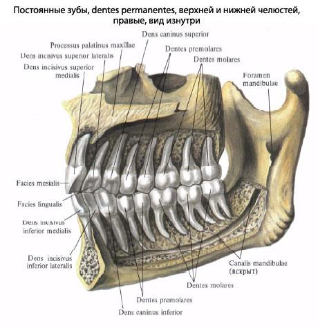 гомологии зубов в процессе