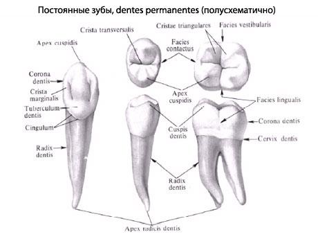 Оба зуба имеют характерные для
