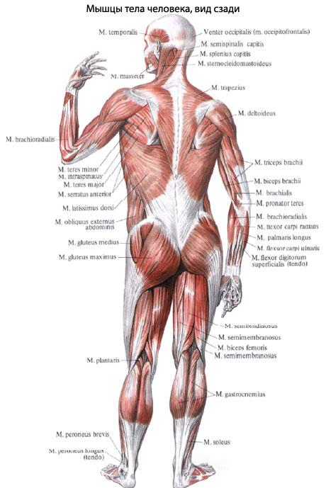 Многосуставные мышцы как более