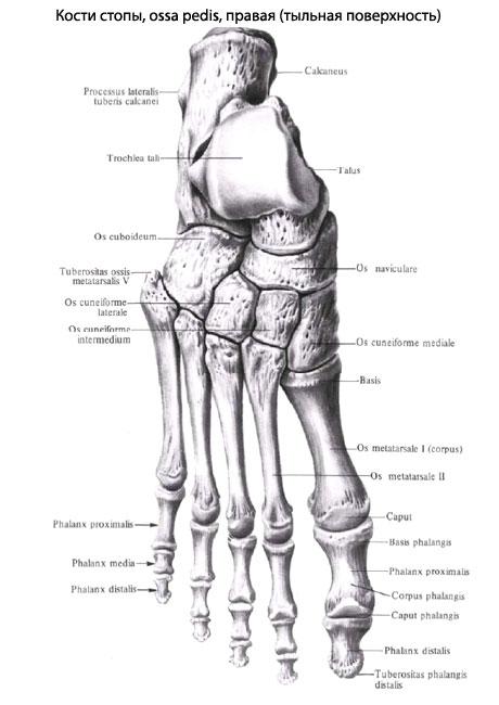 Пальцы стопы, так же как и