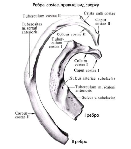 Суставная поверхность головки ребра на латинском суставов литве лечение
