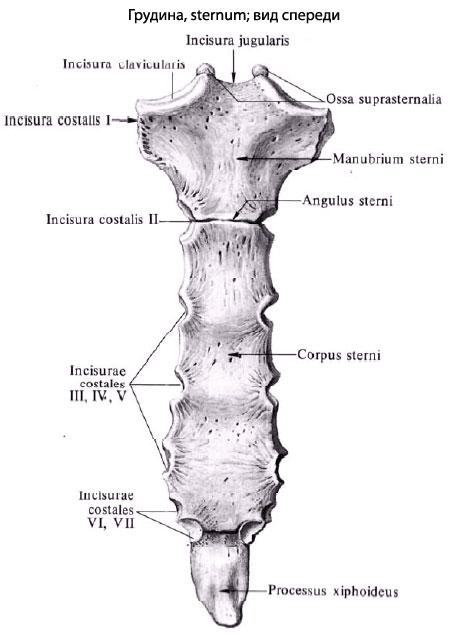 Строение грудины схема