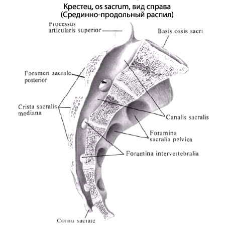 The sacrum and coccyx anterior view is concave