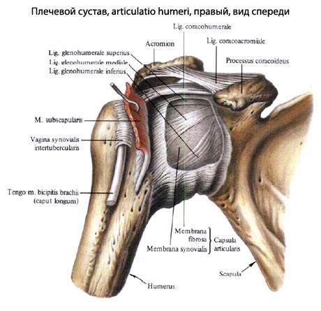 Реферат плечевой сустав офтагель для суставов