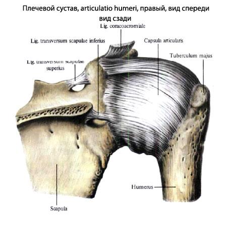 ...плечевой кости, с другой - к суставной губе лопатки.  Верхняя.