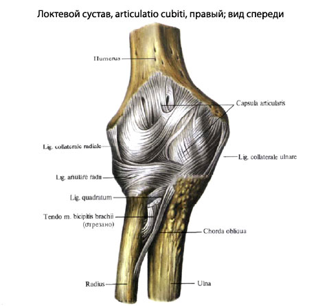 Плечелучевой сустав образуется