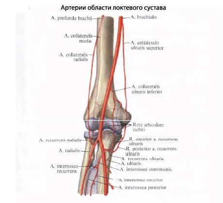 Локтевой сустав получает артериальную кровь из rete articulare, образованной аа. collaterals ulnares superior et...