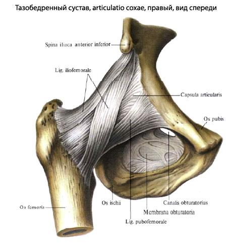 Тазобедренный сустав анатомия рентген внутрисуставные инъекции в коленный сустав алфлутоп