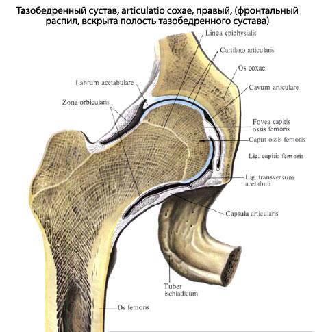 Тазобедренный сустав человека | Анатомия Тазобедренного сустава ...