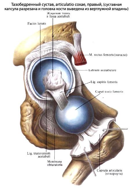 Тазобедренный сустав анатомия когда защемляет тазобедренный сустав