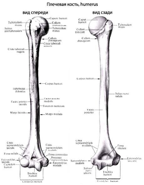 Тело плечевой кости в верхней