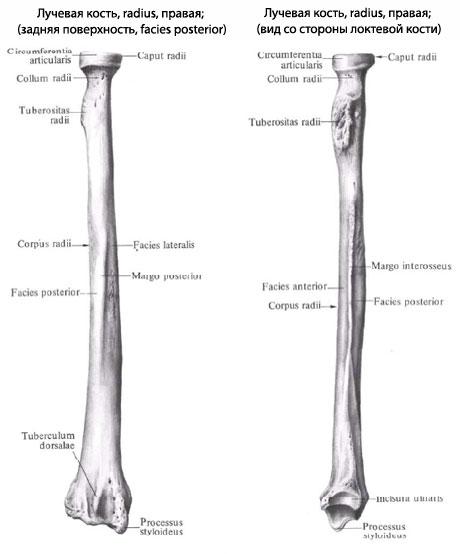 radialis локтевой кости.