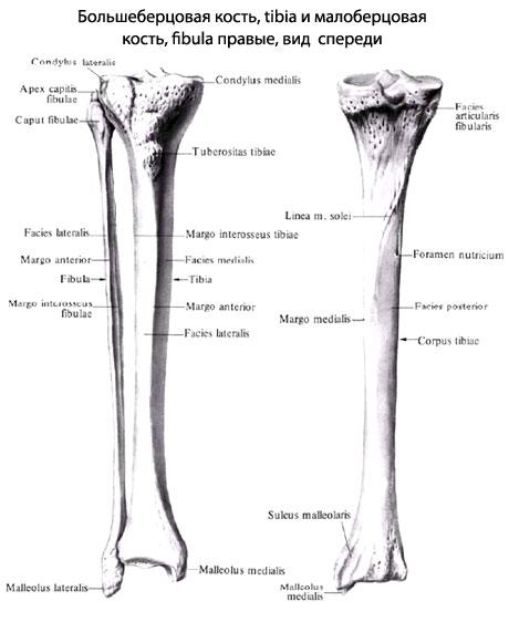 мыщелками бедренной кости.