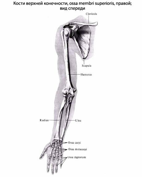 Мышечная система руки состоит