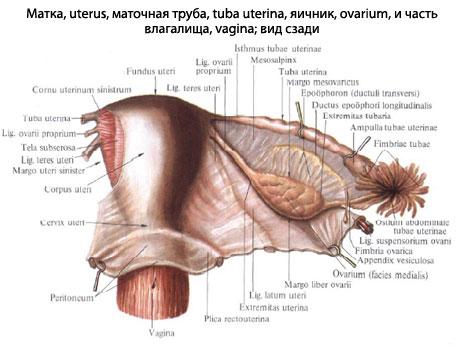анатомия женских органов в картинках