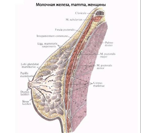 Молочная железа по типу своего