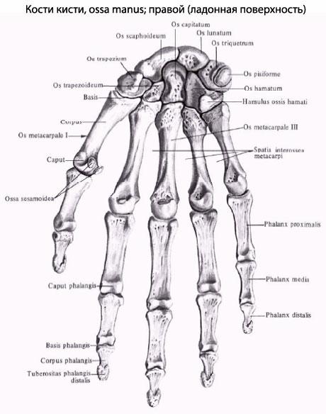 коротких губчатых костей,