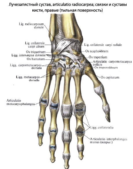 Суставы и связки таза (Вид изнутри).  Тазобедренный сустав (Вид спереди)