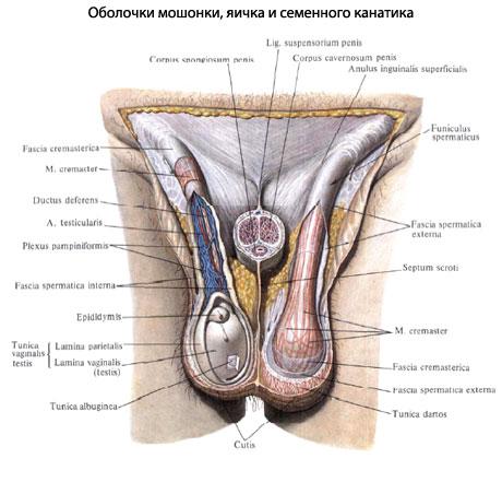 число оболочек яичка