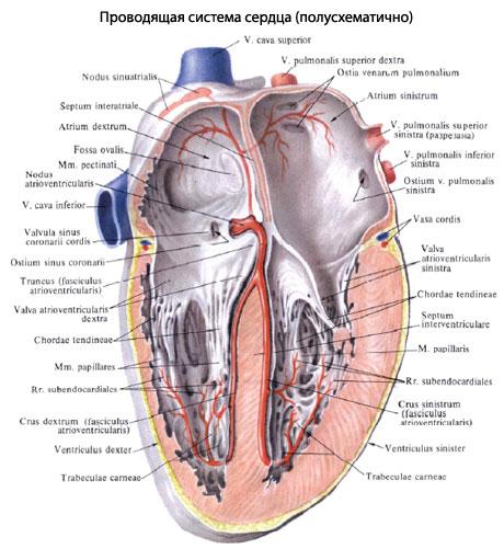 мышечные волокна сердца.