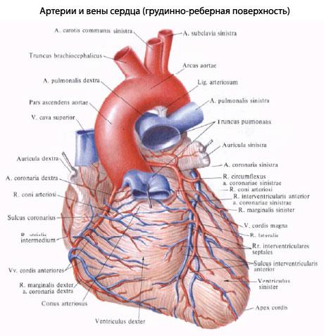 огибает правый край сердца
