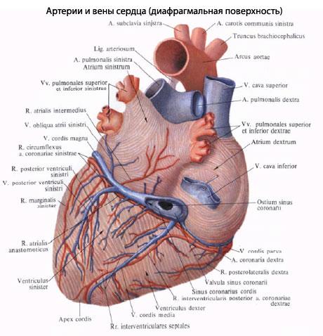 венечной борозды сердца,
