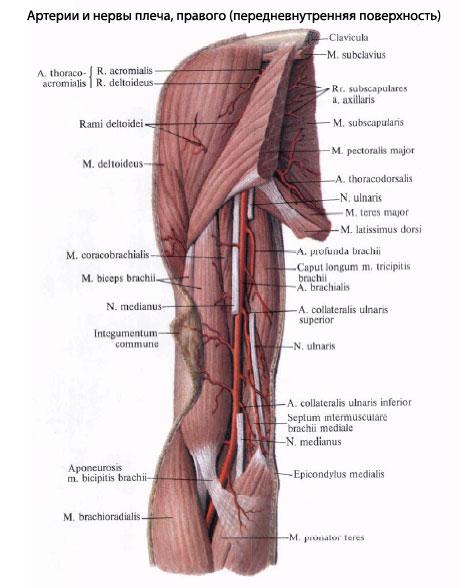 Онлайн анатомия.  Строение человека.
