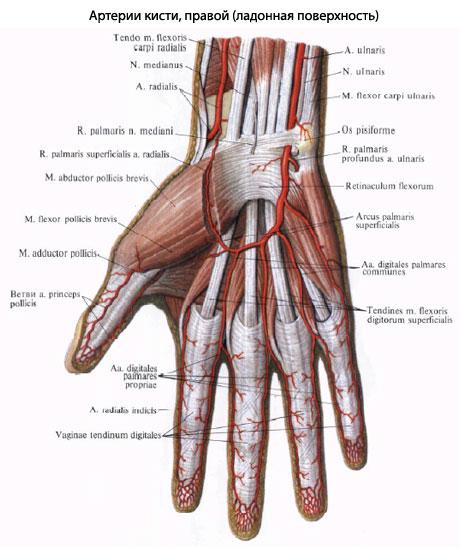 Артерии предплечья и кисти правой верхней конечности.  (Тыльная поверхность.  (Общий разгибатель пальцев и локтевой...