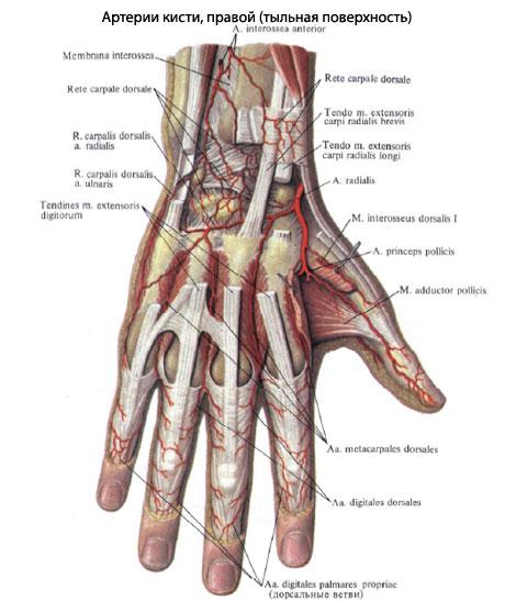 Что означают кисточки в анусе — 10