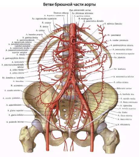 ...усиливает действие катехоламинов, перераспределяет кровоток в почке, повышая корковый и снижая мозговой кровоток.