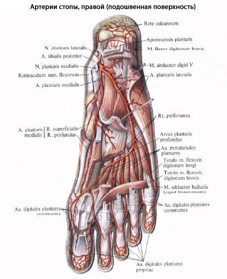 описание ноги человека в картинках