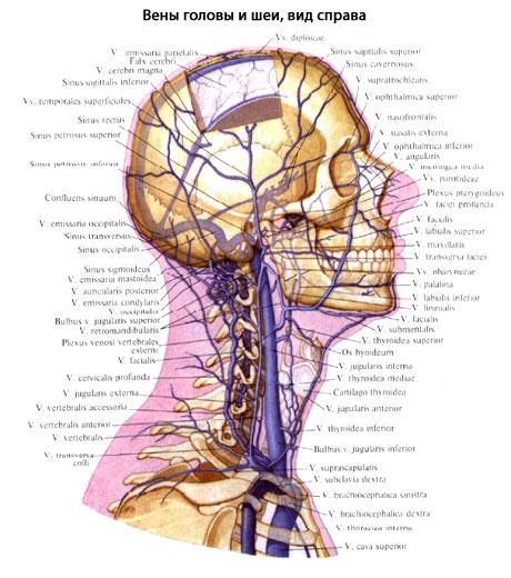 Внутренняя яремная вена человека | Анатомия Внутренней яремной ...