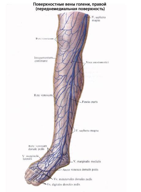 Артерии на ногах схема