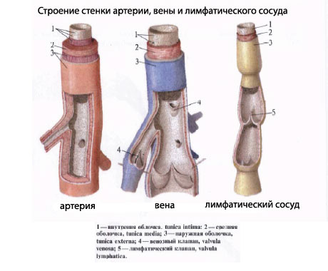 Главные лимфатические сосуды