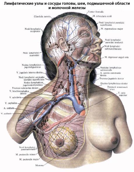 Расположение лимфатических