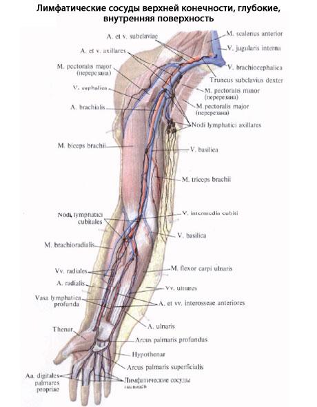 Глубокие лимфатические сосуды