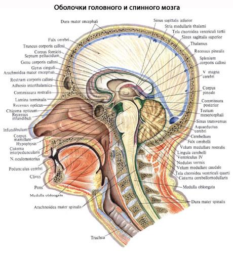 сосудам спинного мозга
