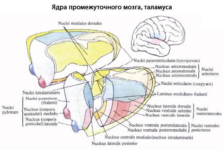 921. Ядра промежуточного мозга (таламуса) (схема).  (Правый таламус разрезан во фронтальной плоскости.